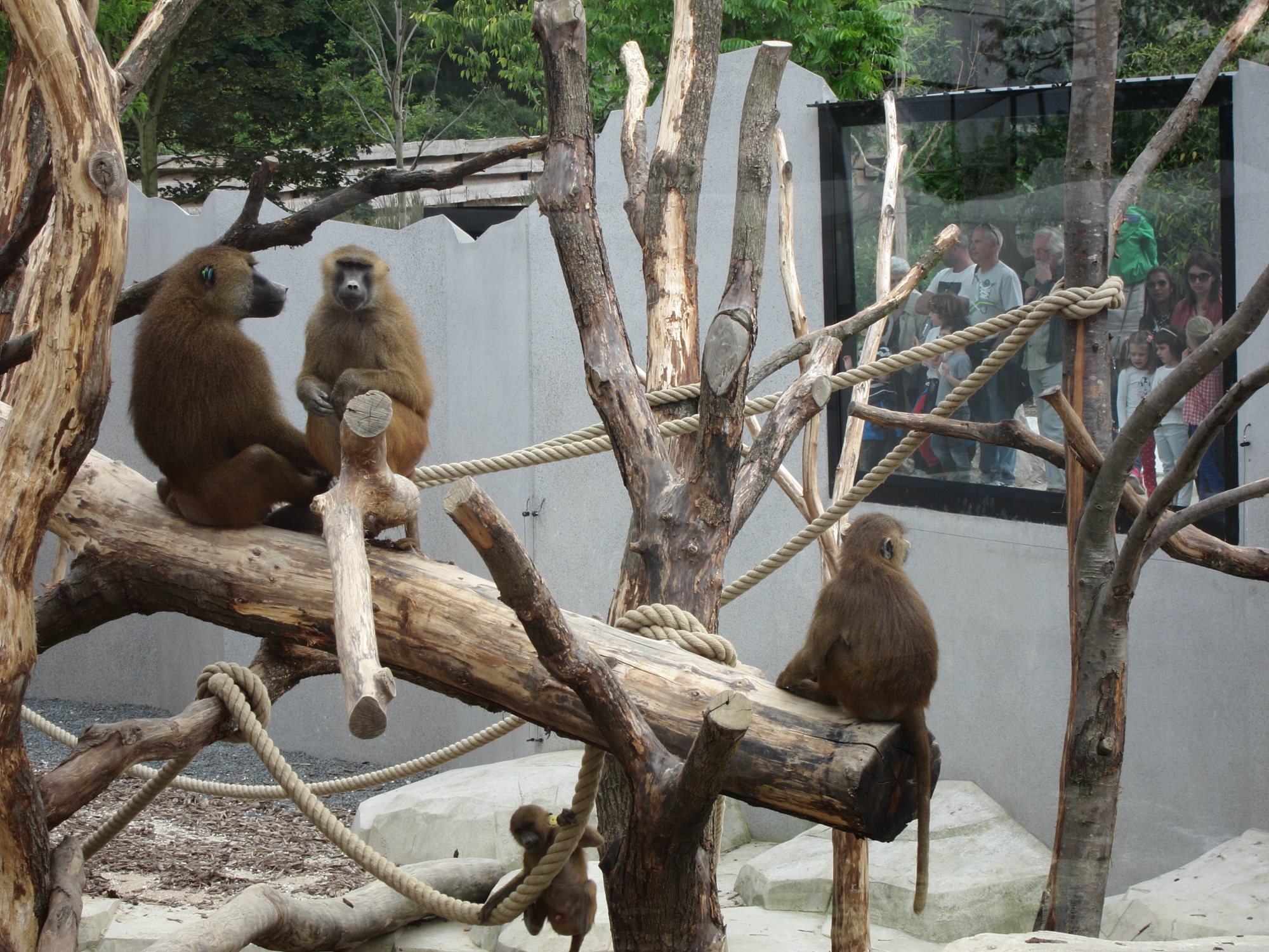Watching the watchers. Guinea baboons at the Paris Zoo.