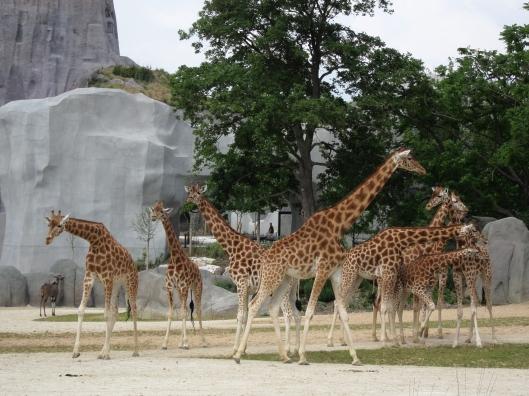 Giraffe at the Paris Zoo.