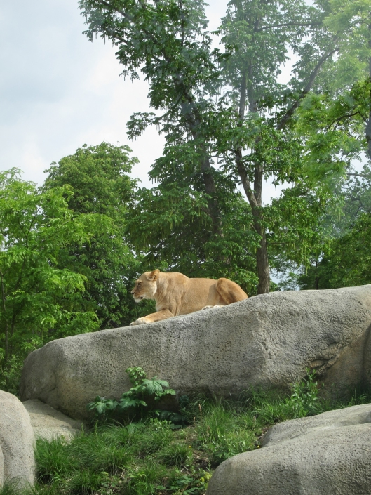 Lion in a magnificent setting at the Paris Zoo.